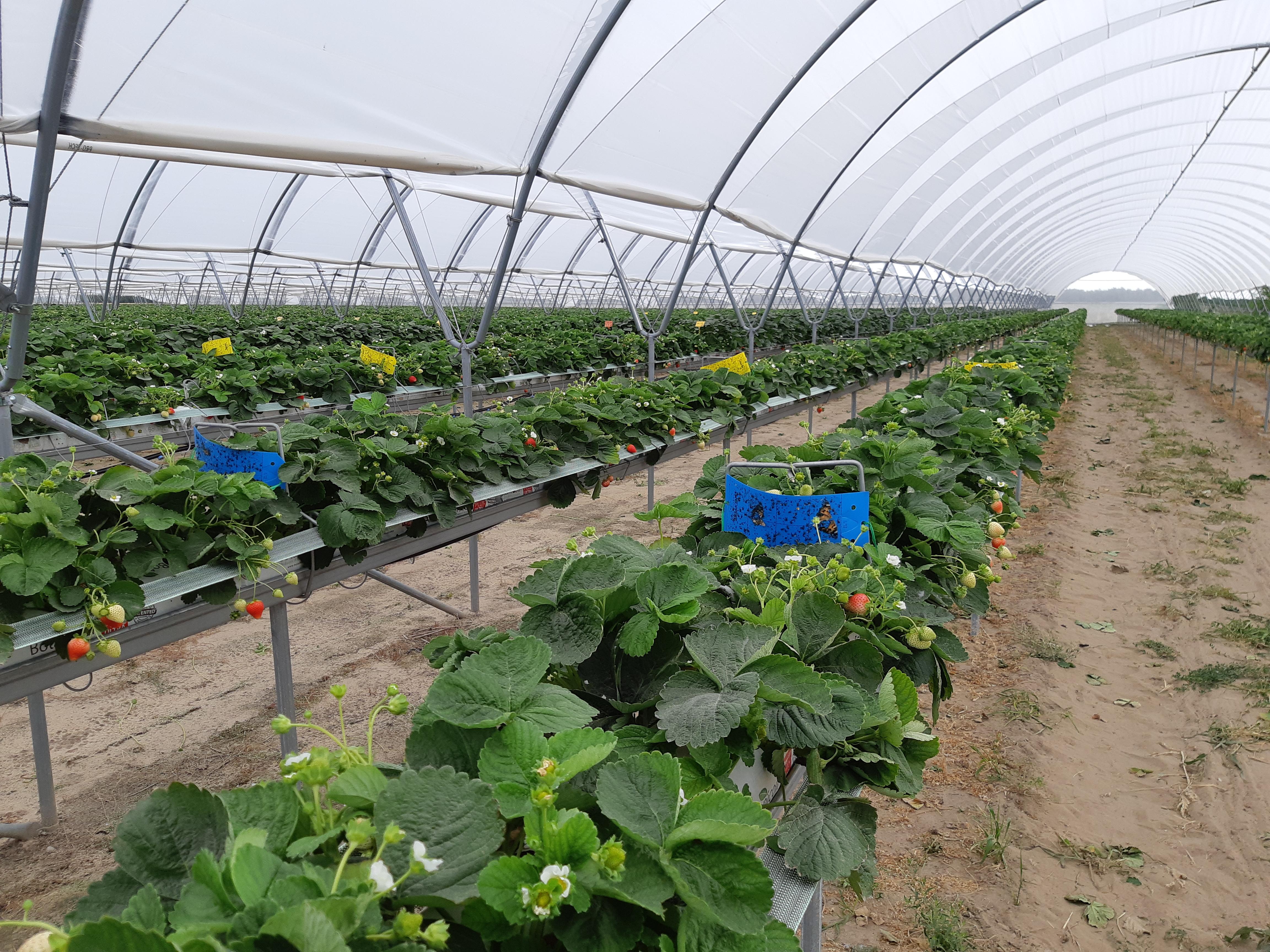 ECA (elektrolizowana woda) – Nowa skuteczna metoda dezynfekcji systemów nawadniających i podłoży w uprawach jagodowych
