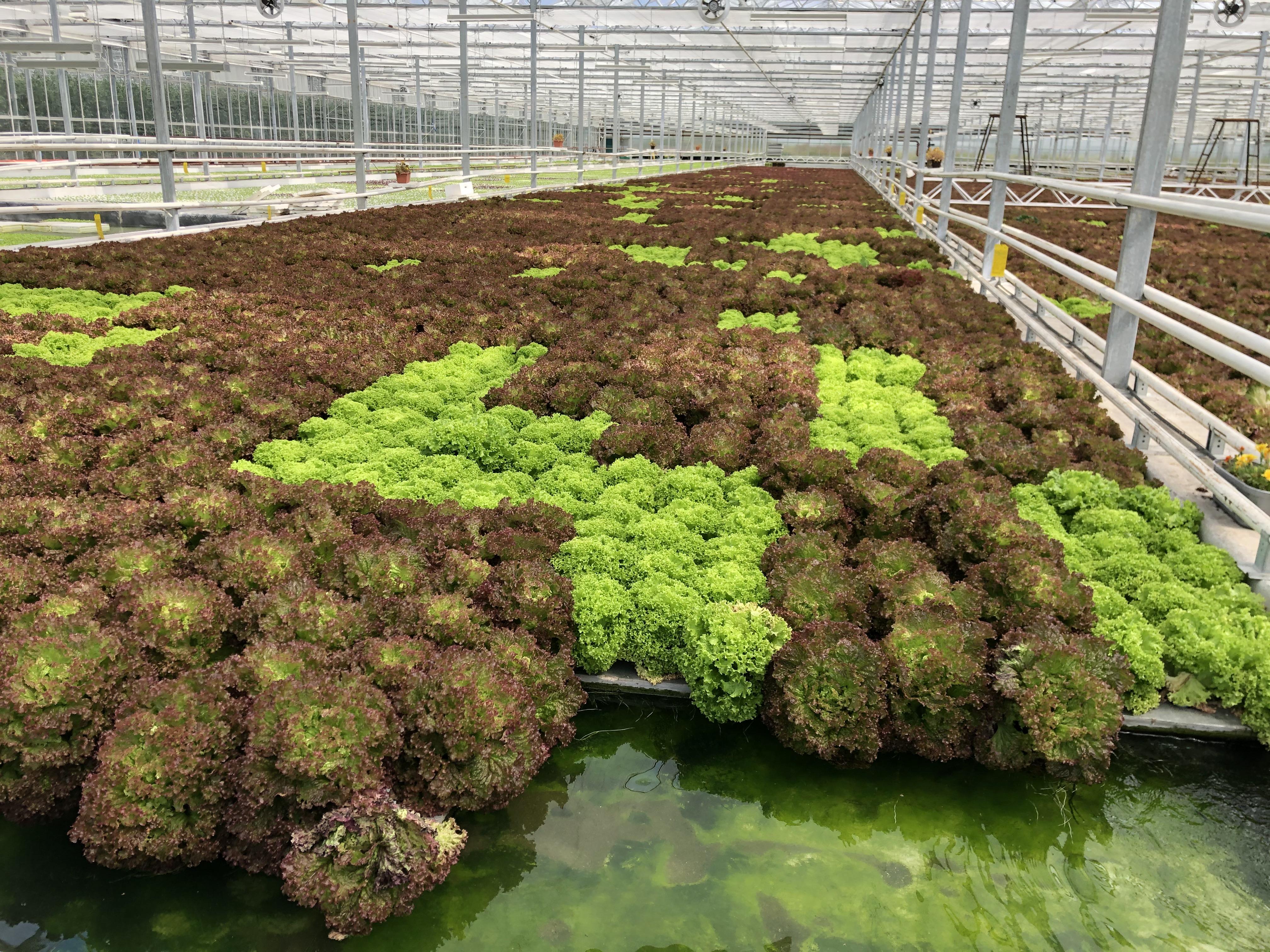 Ograniczenie kosztów produkcji w uprawie sałat