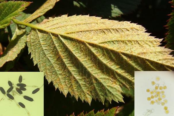 JESIEŃ- pamiętajmy o zgrabieniu i usuwaniu porażonych liści!