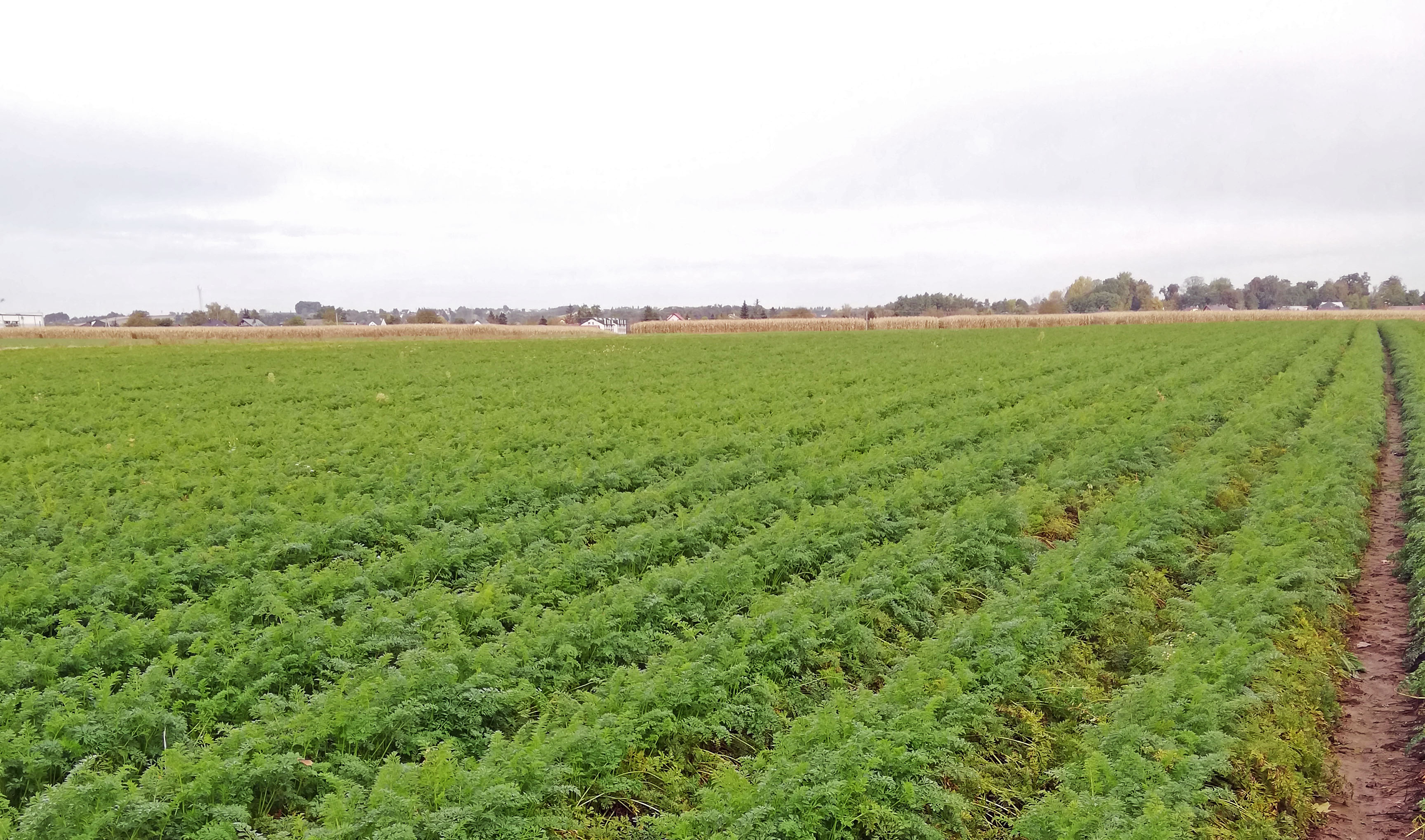 Ograniczenie chorób i szkodników warzyw korzeniowych i ziemniaków