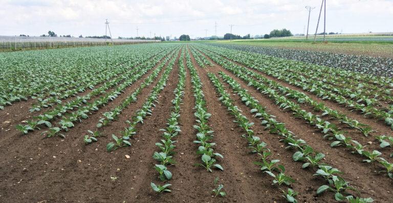 Uzyskanie wysokiej jakości plonu kapusty i brokułu